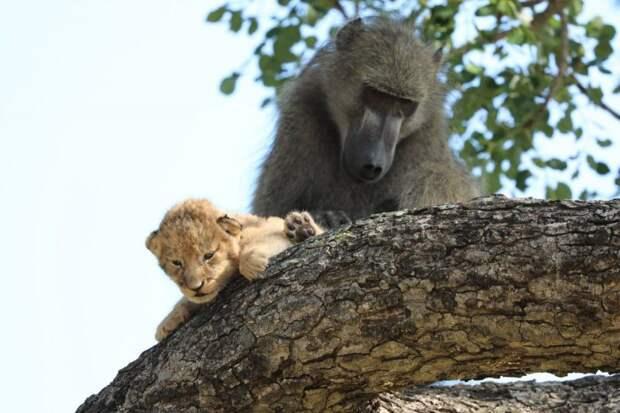 В ЮАР замечены бабуин и львенок, повторившие сцену из «Короля льва»