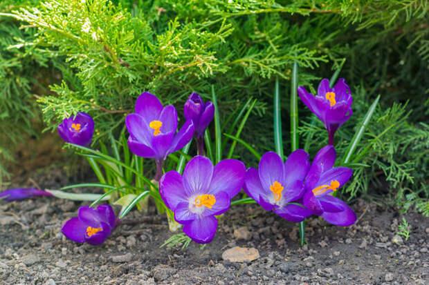 Весенние мелколуковичные оживляют уголки сада с хвойными растениями