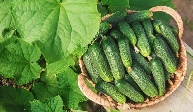 Улучшаем урожай огурцов. / Фото: twit.su.