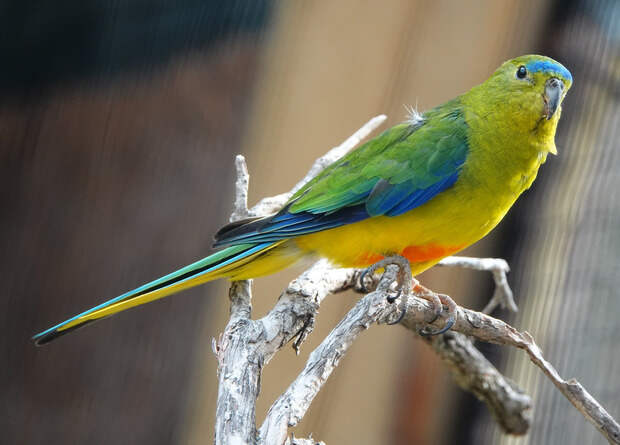 Редчайшие австралийские попугайчики вывели рекордное количество птенцов