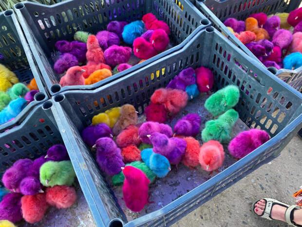 Увидела на рынке в Узбекистане разноцветных цыплят, продавец сказал: «Это новый вид». Выяснила, как они такими становятся