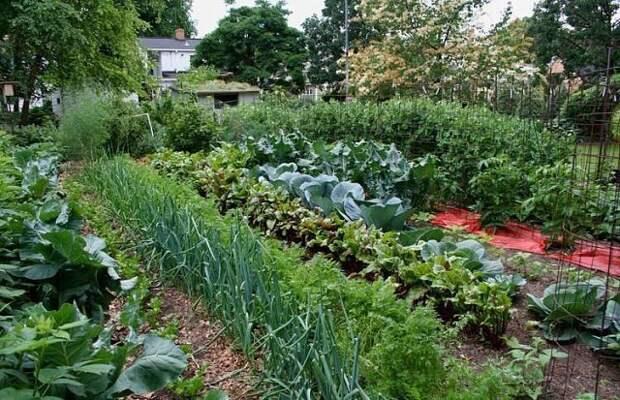 Огороду пригодится: дрожжи, сода и горчица