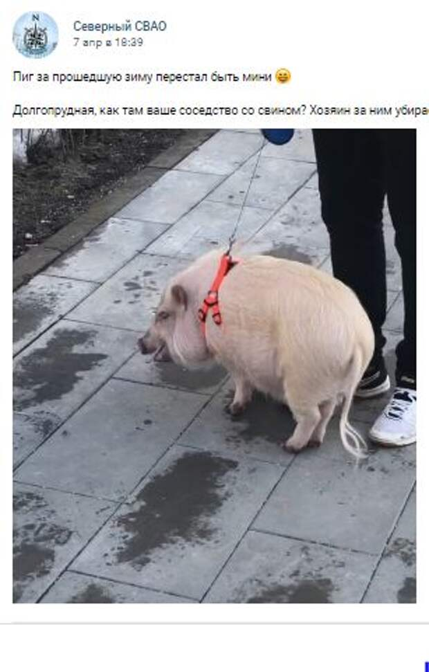Фотокадр: возле домов на Долгопрудной аллее выгуливают свинью