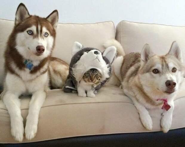 Этого котенка воспитали хаски. Теперь это большая и дружная хвостатая семья