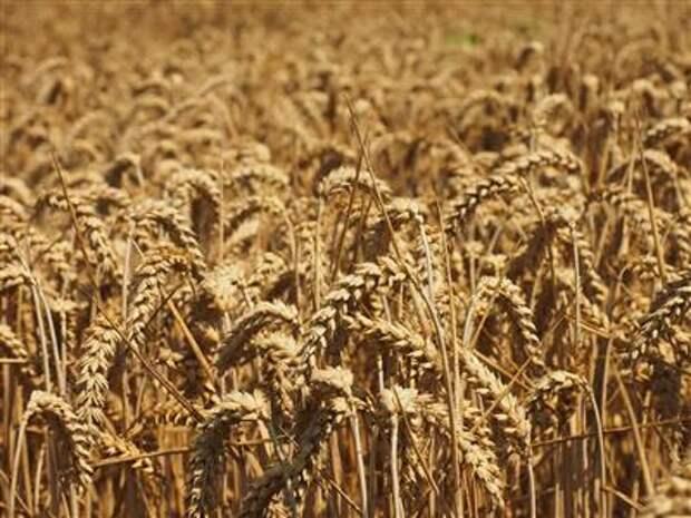 РЗС просит президента РФ не поддерживать ужесточение ограничений на экспорт зерна