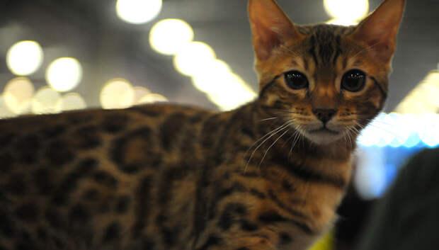 РИАМО разыграет 20 билетов на выставку кошек «Кэтсбург – 2019» в соцсетях