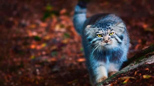 Животное манул – дикий кот степей и гор.