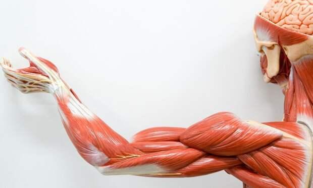 Ученые из США с помощью микробов смогли вырастить сверхпрочные искусственные мышцы