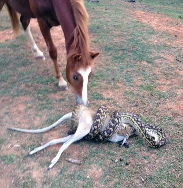 Лошадь в шоке: питон пытается проглотить кенгуру