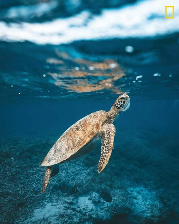 Морская черепаха всплывает, чтобы набрать воздуха неподалеку от острова Херон, южная часть Большого Барьерного рифа (Фото: Джеймс Водичка) national geographic, животные, конкурс, конкурсант, путешествие, фотография, фотомир