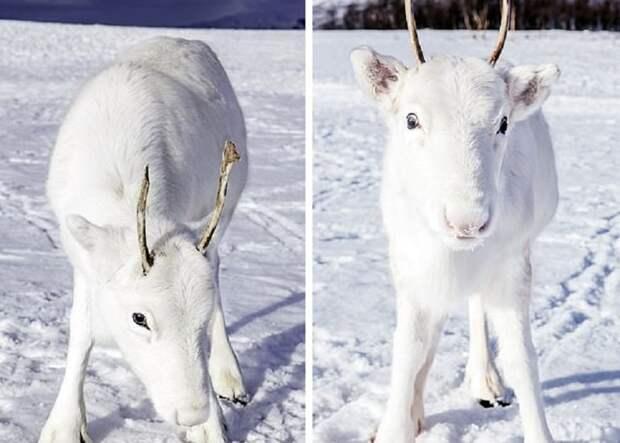 Встреча с белым оленем считается знаком удачи в саамском фольклоре животные, норвегия, окрас, олененок, олень, фотография
