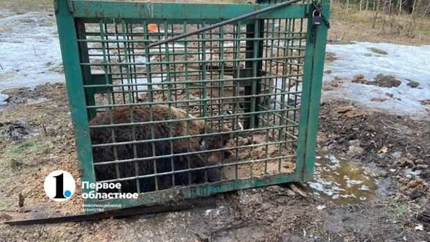 Челябинские волонтеры ищут истощенного медведя, увезенного в Башкирию