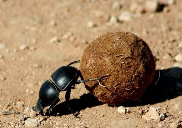 Жук-навозник (Geоtrupes) способен передвигать тяжесть, превышающую его массу в 90 раз. жуки, интересное, красивое, насекомые