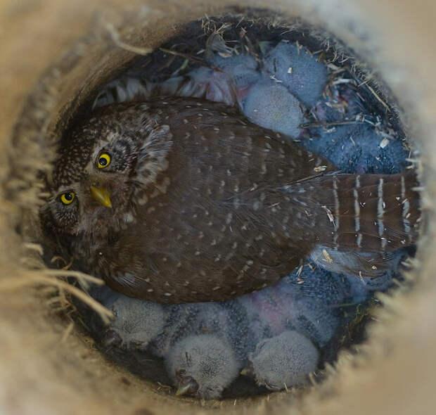 Воробьиный сыч: Крошечная сова без права на ошибку. Эффективная охота в еловом лесу