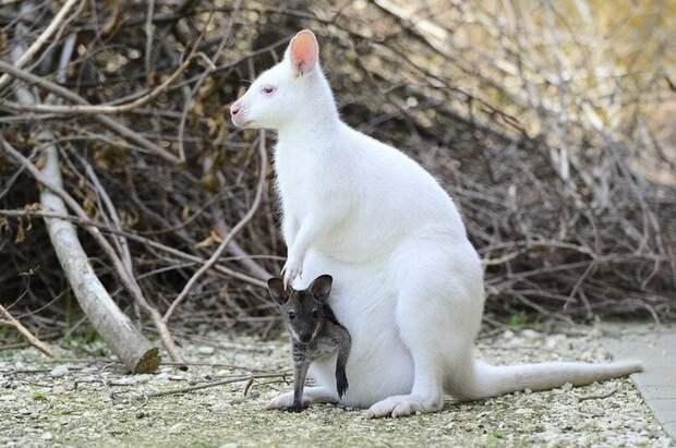 3. Кенгуру альбиносы, животные, красота, окрас, цвет