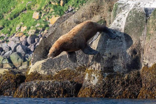 «Орут, как пьяные мужики, и любопытно выглядывают из воды»: новосибирец снял забавных сивучей на Курилах