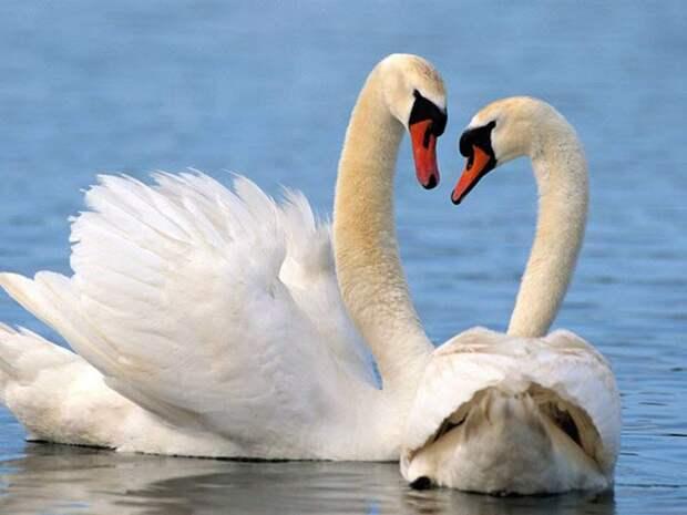 Влюбленные лебеди изгнали из пруда голого мужчину
