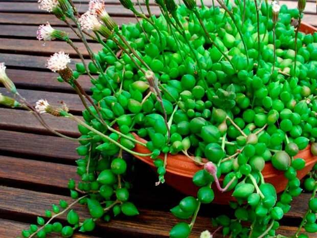 Комнатное растение Крестовник (Senecio)