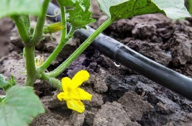 6 ошибок, способных свести на нет урожай огурцов