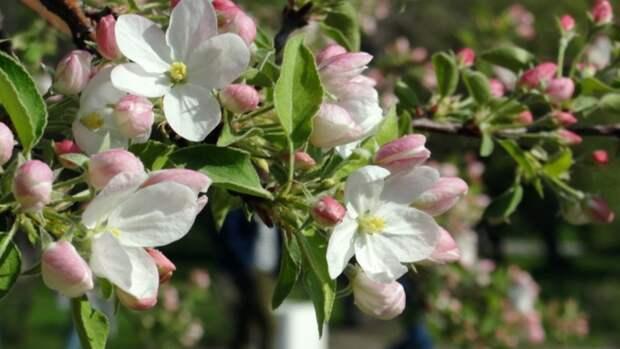 Барнаул цветет и пахнет. Фото
