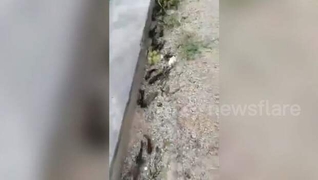 В Китае десятки рыб вылезли из пруда и поползли искать себе новое жилище