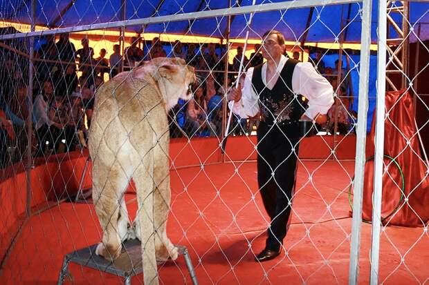 Львица напала на дрессировщика цирка-шапито под Новосибирском