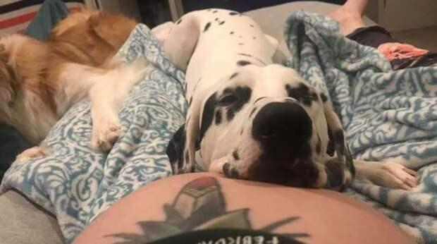 «У нас будет ребёнок!» Собаки так усердно охраняют беременную хозяйку, что даже курьеры обходят их дом стороной