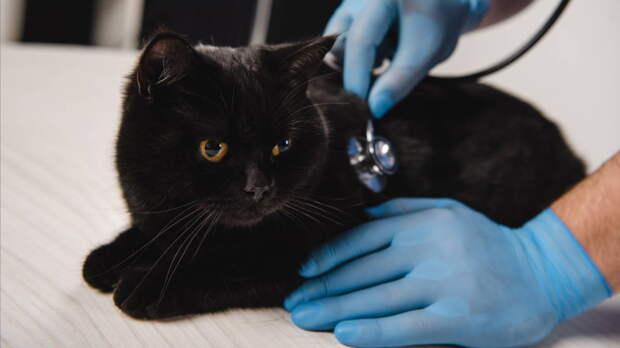 Названы самые нездоровые породы кошек
