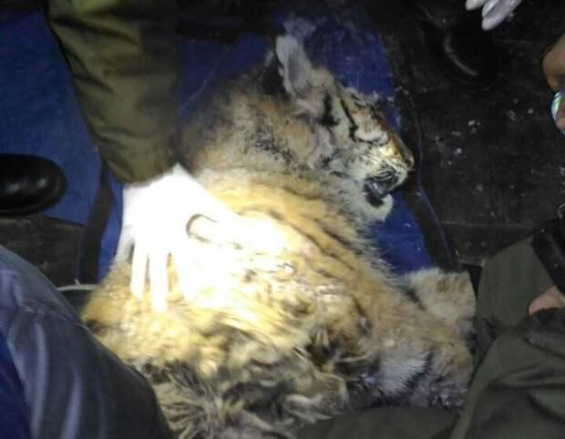 """У животного имеются значительные повреждения. Скорее всего, потребуется операция, и не одна. Фото: центр """"Амурский тигр""""."""
