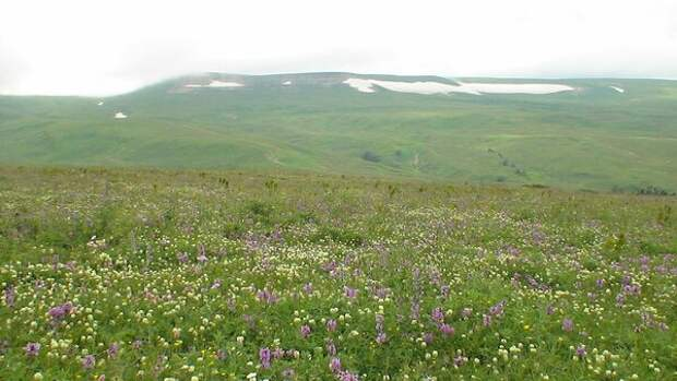 Белый клевер на субальпийском лугу - диаметр цветка 4-7 сантиметров