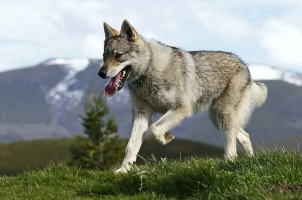 Топ 5 пород собак, которые похожи на волка