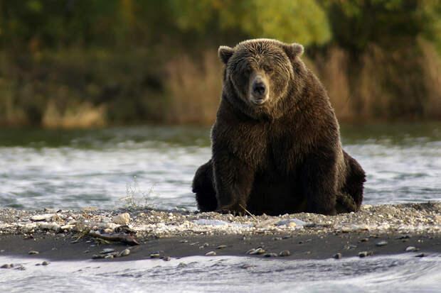 На Аляске медведи сильно растолстели из-за высокой популяции рыбы в реках