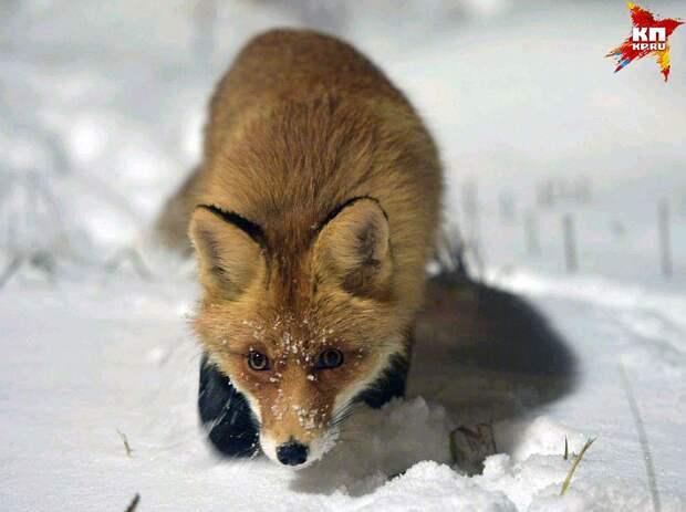 Ближе чем на 2 метра лиса к себе никого не подпускает Фото: Михаил ФРОЛОВ