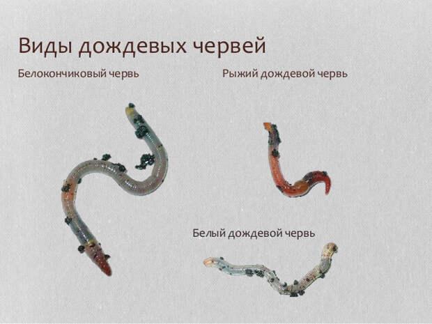 земли Улучшение с помощью дождевых червей