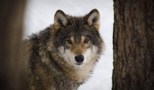 В Глазовском районе Удмуртии опровергли информацию о бесчинствах волчьей стаи