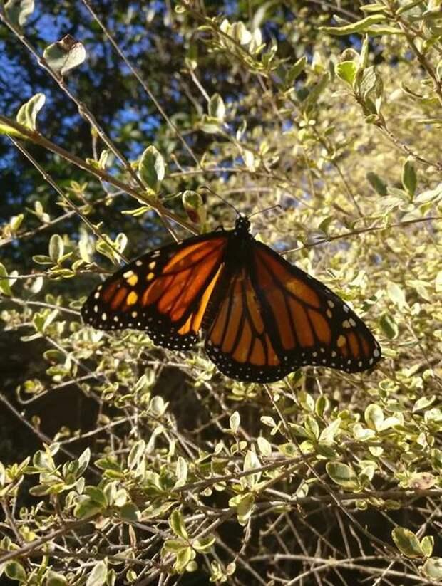Швея пришила бабочке оторванное крыло. Результат впечатляет!