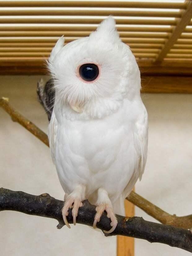 11. Сова альбиносы, животные, красота, окрас, цвет