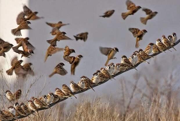 3. Оказывается, воробьи вовсе не трудоголики. Так, будучи в воздухе, они не могут летать более 15 мин, им обязательно нужен отдых для восстановления сил. воробей, воробьи, животные, интересно знать, факты