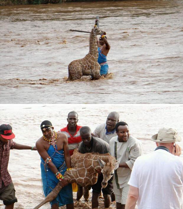 Группа людей спасла тонущего жирафенка в Кении Счастливый конец, животные, спасение