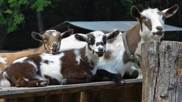 В Штатах женщина ищет отца своих коз