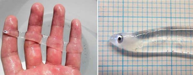 Фантастические твари: прозрачные животные, всуществование которых верится струдом