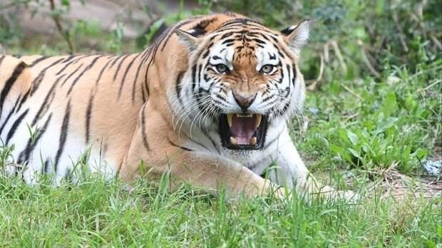 Мама пострадавшего малыша вкрымском зоопарке: «Тигр прыгнул сверху, подтянул закофту »