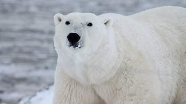 Белого медведя заметили во время прогулки по якутскому поселку