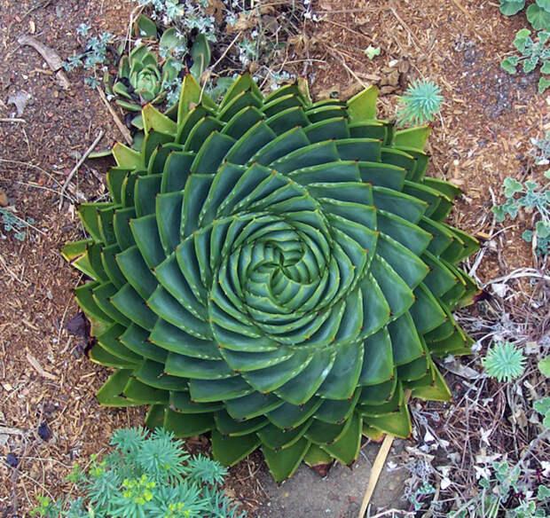 Симметрия в природе - фотографии геометрически идеальных растений.