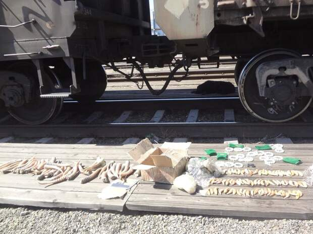 Рога сайгака, клыки медведя и нефритовые браслеты спрятали в вагоне грузового поезда