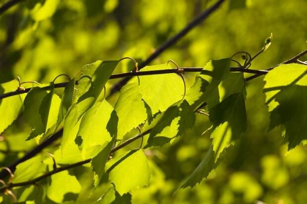 листья березы для волос отзывы