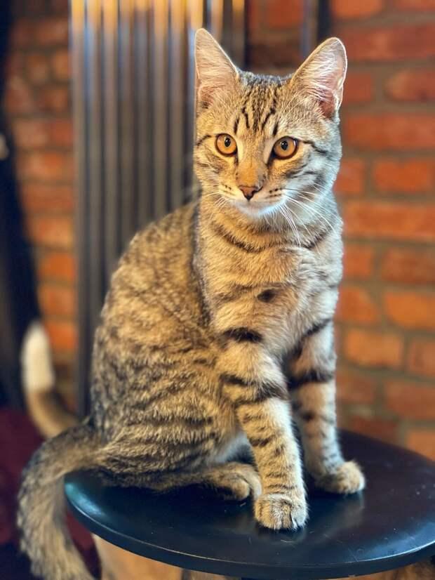Великолепный кот!!! Он ждёт именно Вас!