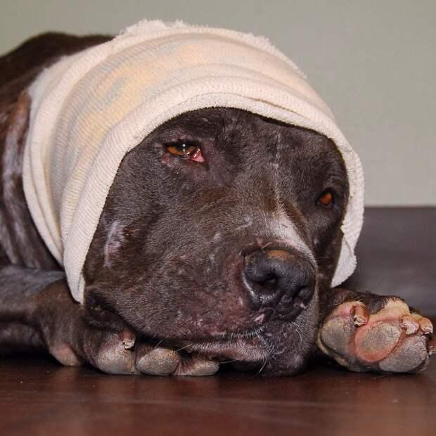 Этот питбуль изменился до неузнаваемости, когда его спасли от подпольных боев бойцовская собака, питбуль, подпольные бои