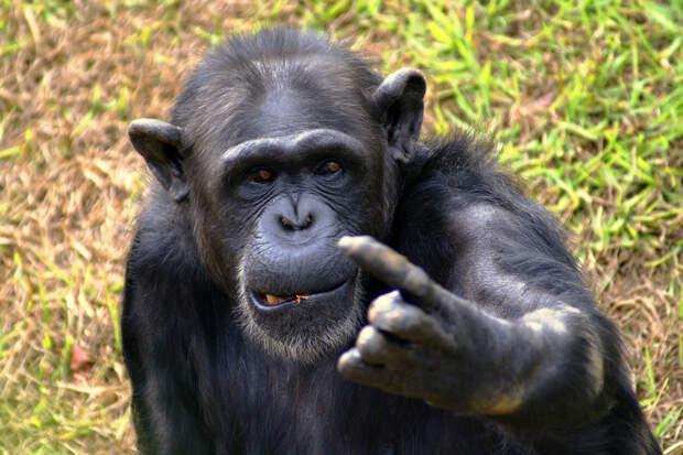 Шимпанзе в бразильском зоопарке / ©Flickr/i.averbuch