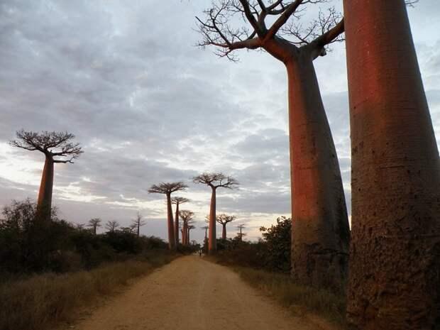 Удивительное дерево — баобаб… (18 фото)